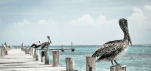 pelican-336583_1920-e1446654162385