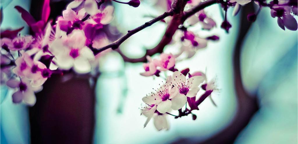 rula-sibai-pink-flowers-1024x494